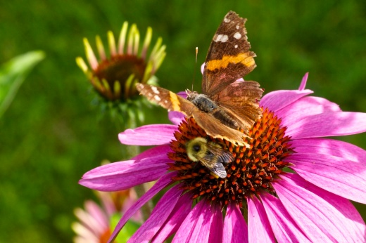 Daily Image - 1 August 2011 - Purple Coneflower and Visitors